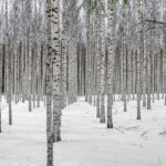 雪が積もった白樺林の写真