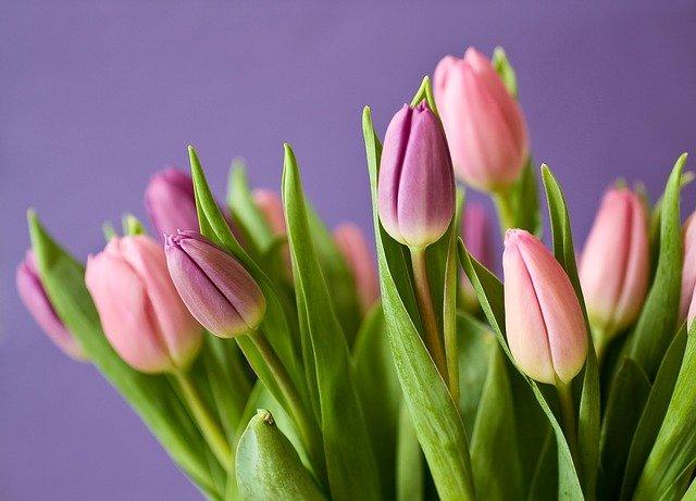 ピンクのチューリップの写真